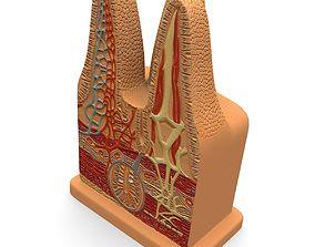 Microbiology Digestive Villi intestinal 3D model