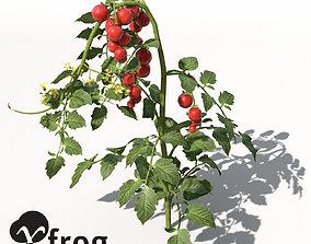 3D XfrogPlants Tomato