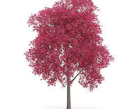 Palmate Maple Acer palmatum 10m 3D