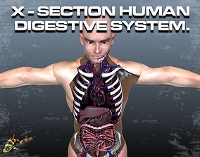3D model Cross Section Human Digestive System