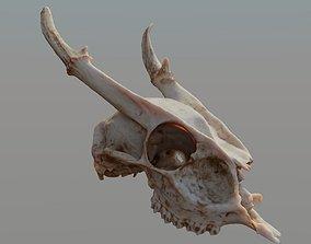 Muntjac Deer Skull 3D