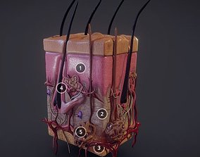 3D model Human Skin Integumentary system