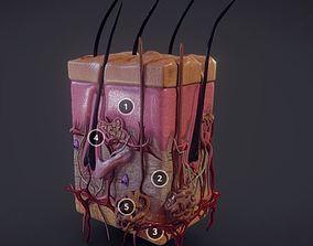 Human Skin Integumentary system 3D model