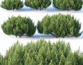3D model Pinus mugo Nr1 H50-100 cm