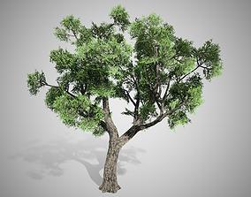 3D asset Amur Cork Tree