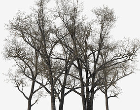 Old poplars 3D fallen