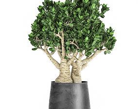 3D model Crassula in a black pot for the interior 931