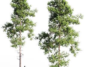 Scots pine 4 3D model