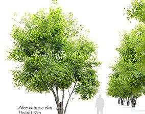 3D model Alee chinese elm- Ulmus parvifolia Allee