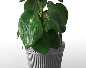 Peperomia plant in pot 3D