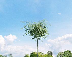 3D model Salix repens var argentea 023 v2 AM136