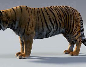 Tiger maya 3D