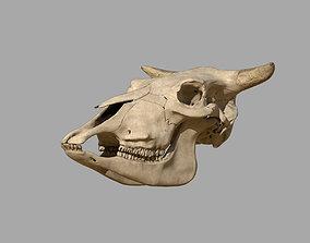 Cattle Skull livestock 3D