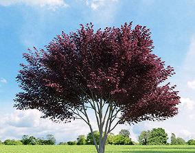 3D model Prunus blireana 013 v2 AM136