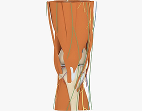 Knee Anatomy 3D model