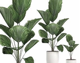 3D Decorative Licuala palm in a white flowerpot 522