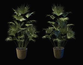 PALMA in a flowerpot 3D asset