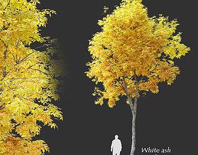Autumn White ash 3D model