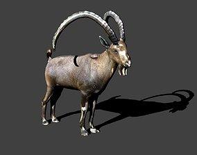 3D nubian ibex