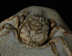 3D asset Fossil Crab HOMOLOPSIS ETHRIDGEI