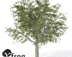 XfrogPlants European Hackberry 3D