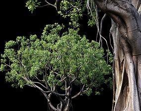 Ficus root 3D