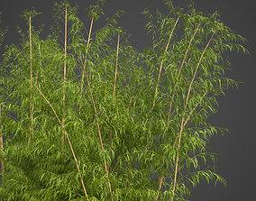 3D 2021 PBR Golden Bamboo Collection - Bambusa