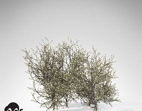 3D model XfrogPlants Blackthorn