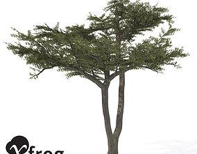 XfrogPlants Umbrella Acacia 3D