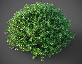 3D XfrogPlants Buxus Sempervirens