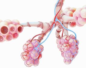 3D Realistic Human Bronchi Alveoli Anatomy