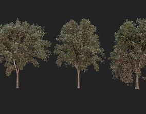3D model Red Alder Tree 7m