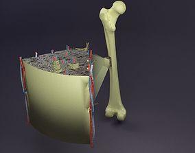 3D bone histology anatomy