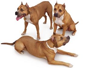 Staffordshire Bull Terrier x3 3D model