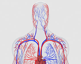 3D model Human Circulatory