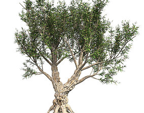 3D model low-poly African Olive Tree