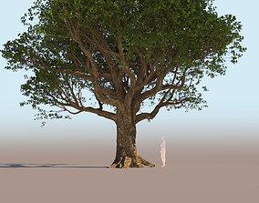3D Coast live oak quercus agrifolia mature a