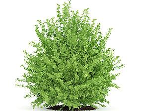 3D model Large Boxwood Plant Buxus sempervirens