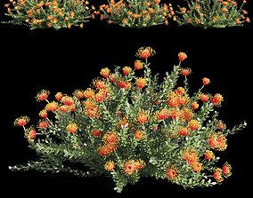 landscape 3D model Leucospermum cordifolium