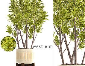 Dracaena tree 3D model