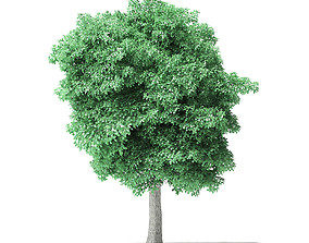 foilage American Basswood Tree 3D Model 8m