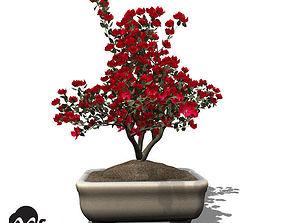 3D model XfrogPlants Satsuki Azalea - Bonsai