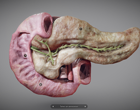 3D asset Pancreas and Duodenum