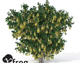 3D model XfrogPlants Golden Chain