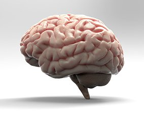 Brain medical 3D model