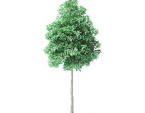 American Basswood Tree 3D Model 4m