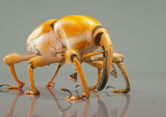Yellow Miniature