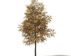 maple Field Maple 3D Model 5m