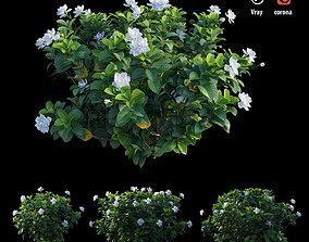 Gardenia angustifolia merr Plant set 02 flower 3D