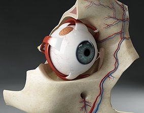 Anatomy eye with skull cut-section 3D nerve
